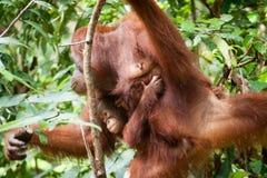 Orangutan w tanjung kładzenia parku narodowym Obraz Stock