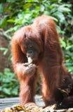 Orangutan w tanjung kładzenia parku narodowym Zdjęcie Stock