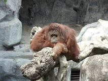 Orangutan wait for someone Royalty Free Stock Photo