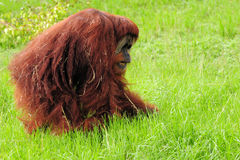 Orangutan Walking Stock Photos