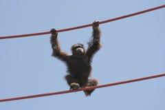 Orangutan walking between metal ropes Stock Images