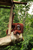 Orangutan watching. The bypassers in the zoo Royalty Free Stock Image