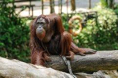 Orangutan watching the horizon royalty free stock images