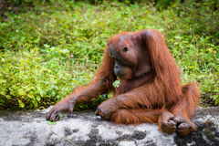 Orangutan wielkie małpy Zdjęcie Royalty Free