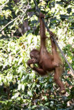 Orangutan. Young Borneo orangutan eating a banana Stock Photos