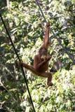 Orangutan. Young Borneo orangutan eating a banana Royalty Free Stock Photo