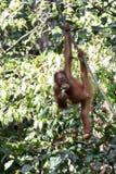 Orangutan. Young Borneo orangutan eating a banana Royalty Free Stock Image