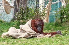 Orangutan in zoo Royalty Free Stock Images