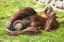 Orangutan in zoo Royalty Free Stock Image