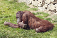 Orangutan in zoo Royalty Free Stock Photos