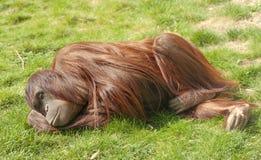 Orangutan in zoo. Lying on grass Stock Photos