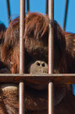 Orangutan in Zoo Royalty Free Stock Photo