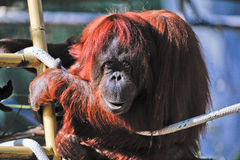 Orangutan in zoo Royalty Free Stock Image