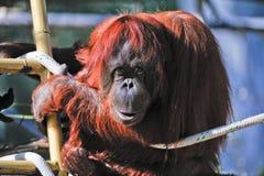 Orangutan in zoo. Male orangutan resting on a rope in zoo Royalty Free Stock Image