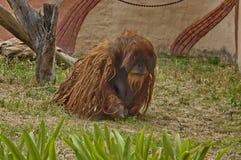 Orangutan in zoo. Orangutan ape in Johannesburg zoo Stock Photo