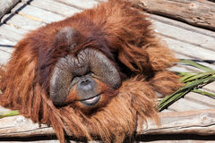 Orangutan at the zoo Stock Photo
