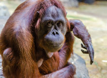 Orangutan at the zoo Royalty Free Stock Images