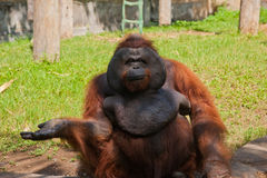 Orangutan in a zoo Royalty Free Stock Photo