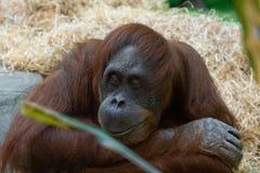 Orangutan at the zoo stock images