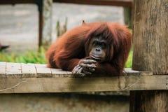 Orangutan zoo w Kot Kinabalu, Malezja, Borneo obrazy stock
