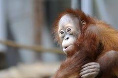 orangutanbarn Royaltyfri Bild