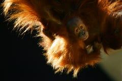Orangutanes Imágenes de archivo libres de regalías