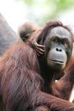 Orangutanes Imagenes de archivo