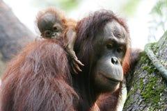 Orangutanes imagen de archivo libre de regalías
