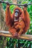 Orangutanes de la madre y del bebé Fotografía de archivo libre de regalías