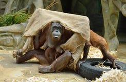 Orangutanes en el parque zoológico de Moscú Imagenes de archivo
