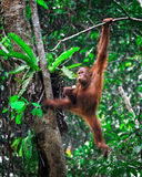 Orangutanf im Regenwald Lizenzfreies Stockbild