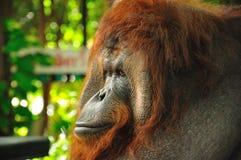 orangutang ζωολογικός κήπος της & Στοκ Εικόνες