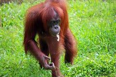 Orangutang есть банан в Борнео Стоковые Изображения