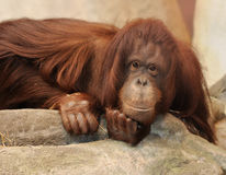 Orangutang Royalty Free Stock Images