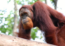 Orangutang Royalty Free Stock Photos