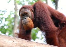 orangutang Стоковые Фотографии RF