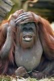 Orangutang Lizenzfreie Stockfotografie