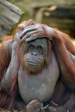 Orangutang Stockfotos