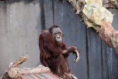 Orangutang Arkivfoton