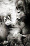 Orangutang arkivfoto