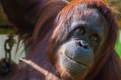 Orangutang Stock Foto's
