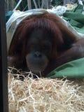 Orangutang 免版税库存照片