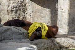 Orangutang Стоковая Фотография RF