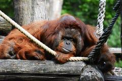 Orangutang Arkivbilder