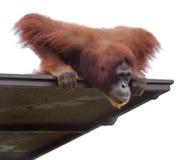 Orangutang adulte regardant vers le bas de sa plate-forme Photographie stock libre de droits