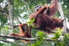 Orangutang borneo indonesia Arkivbild