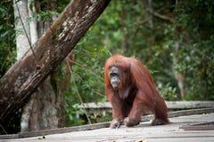 Orangutang borneo indonesia Royaltyfri Foto
