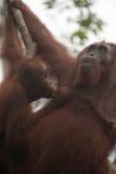 Orangutang borneo indonesia Royaltyfria Bilder