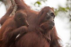 Orangutang borneo indonesia Royaltyfri Bild