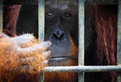 Orangutang in cage Stock Image